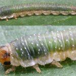 Nematinus fuscipennis Credit John Grearson