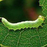 Nematus nigricornis Credit Leo Blommers (Netherlands)