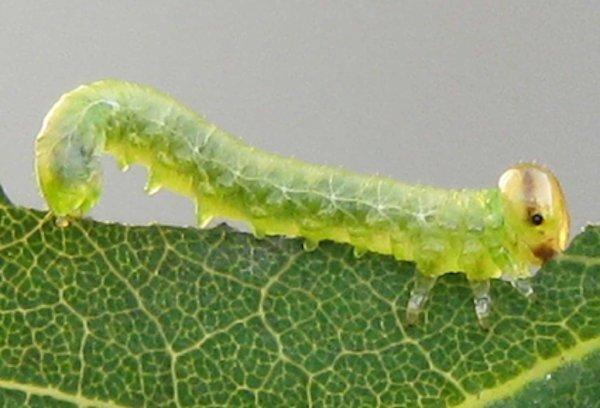 Euura tibialis larva Credit John Grearson