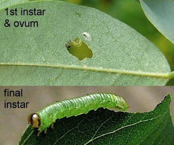 Euura tibialis larva (Netherlands specimen) Credit Leo Blommers