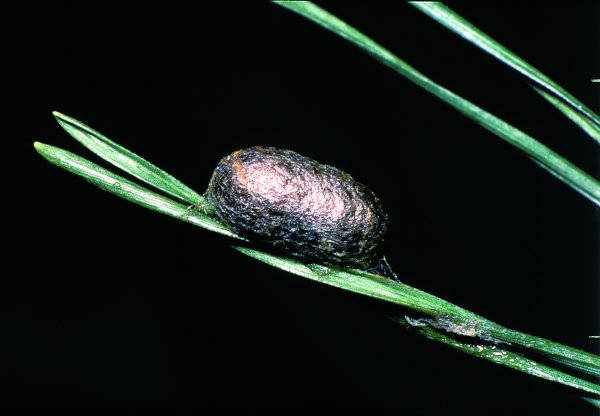 Neodiprion sertifer cocoon (Hungarian specimen) Credit György Csóka