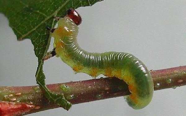 Pristiphora testacea larva (Austrian specimen) Credit Rob Edmunds