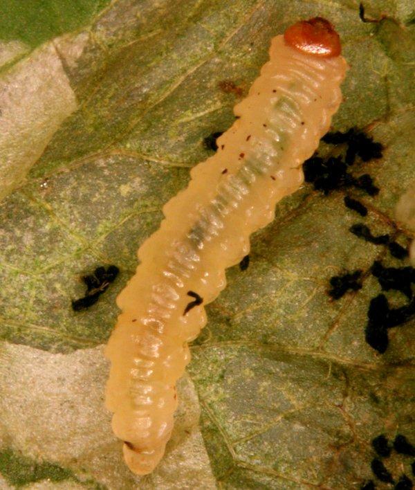 Pseudodineura fuscula larva (Hungarian specimen) Credit György Csóka