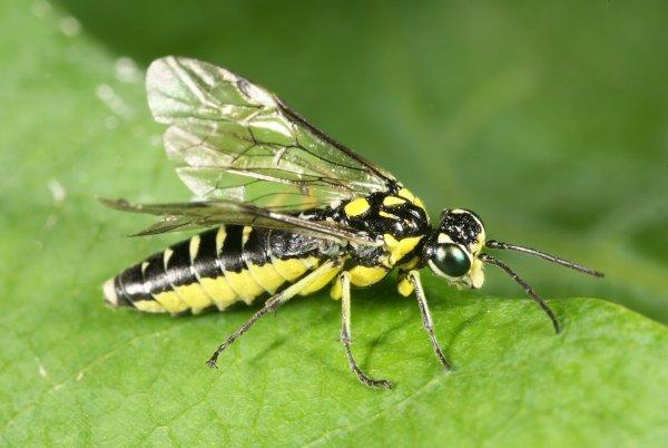 Cytisogaster picta female (Hungarian specimen) Credit György Csóka