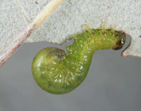 Stauronematus platycerus larva (Hungarian specimen) Credit György Csóka