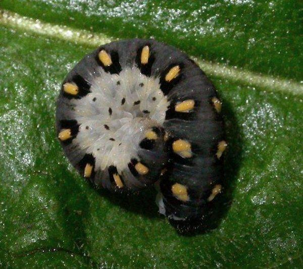 Tenthredo mandibularis larva Credit Melissa Banthorpe
