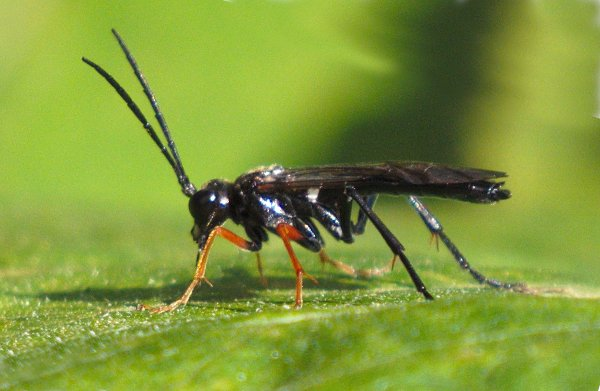 Tenthredo mandibularis male Credit Ken Dobson