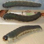 Tenthredo notha larva Credit John Fogarty