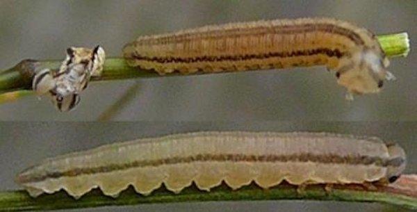 Tenthredopsis litterata larva (Netherlands specimen) Credit Leo Blommer
