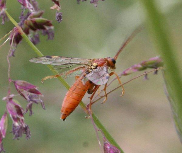 Tenthredopsis nassata female Credit Stuart Dunlop
