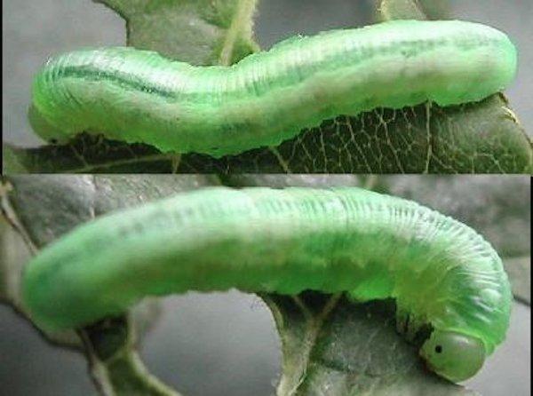 Tomostethus nigritus (Austrian specimen) Credit Rob Edmunds