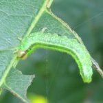 Arge nigripes larva Credit Graham Watkeys