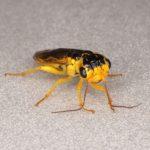 Pamphilius marginatus female Credit Andrew Green