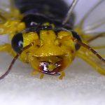 Pamphilius marginatus female head detail Credit