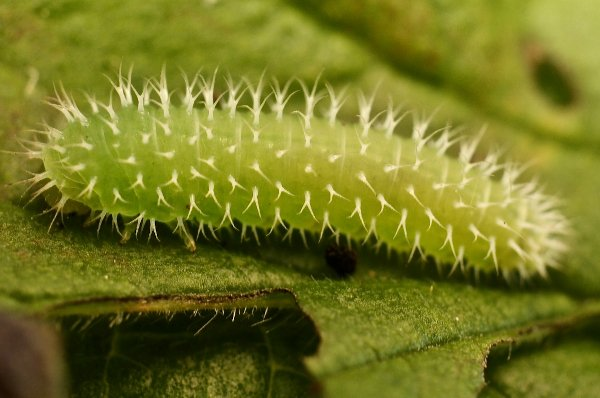 Claremontia waldheimii larva Credit Alan Outen