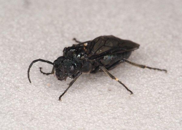 Dolerus anthracinus female Credit Andrew Green