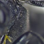 Dolerus anthracinus mesopleura Credit Andrew Green