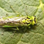 Rhogogaster chlorosoma Credit Alan Outen