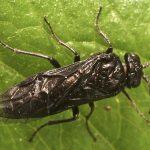 Tomostethus nigritus female Credit Alan Outen