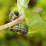 Abia fasciata larva Credit John A Petyt