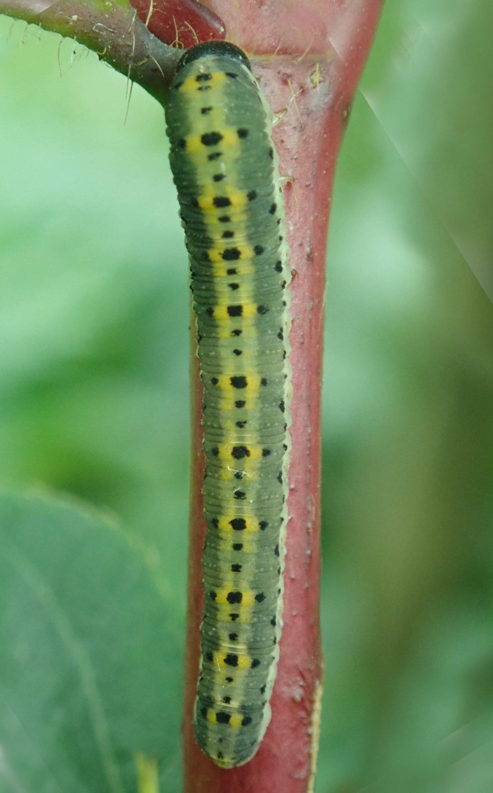 Gallery – Family Cimbicidae (Larvae)