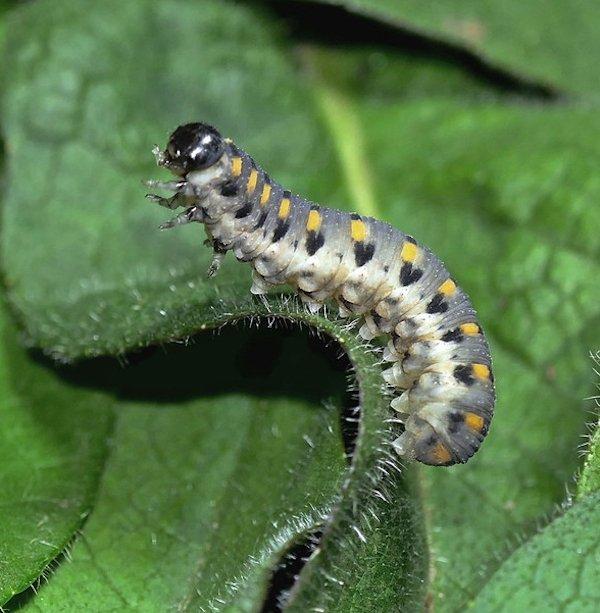 Abia sericea larva Credit John A Petyt