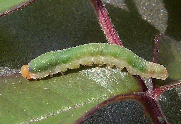 Allantus ruficinctus larva Credit John Grearson