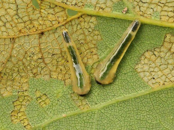 Caliroa annulipes larvae Credit John A Petyt