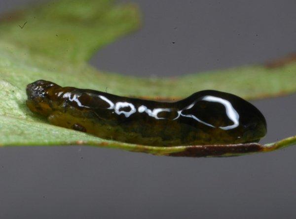 Caliroa cerasi larva Credit John Grearson