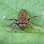Cimbex connatus Credit John A Petyt