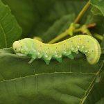 Cimbex connatus larva Credit John A Petyt