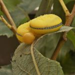 Cimbex luteus larva Credit John A Petyt
