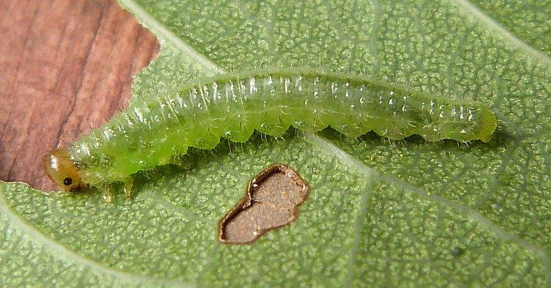 Cladius pectinicornis larva Credit John Grearson