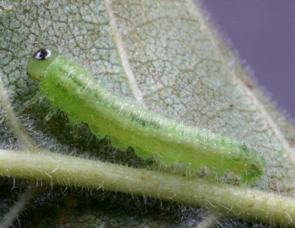 Cladius rufipes larva Credit John Grearson