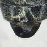Dolerus anthracinus male T8 Credit Andrew Green
