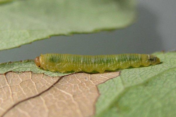 Endemolyia aethiops larva Credit John Grearson