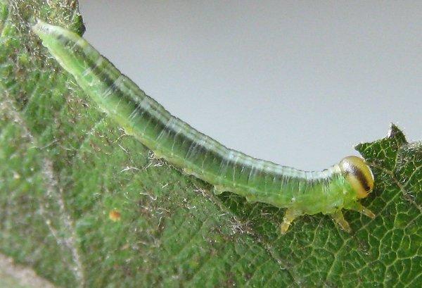 Euura bergmanni larva Credit John Grearson