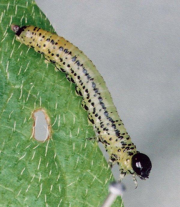 Euura miliaris larva Credit John Grearson
