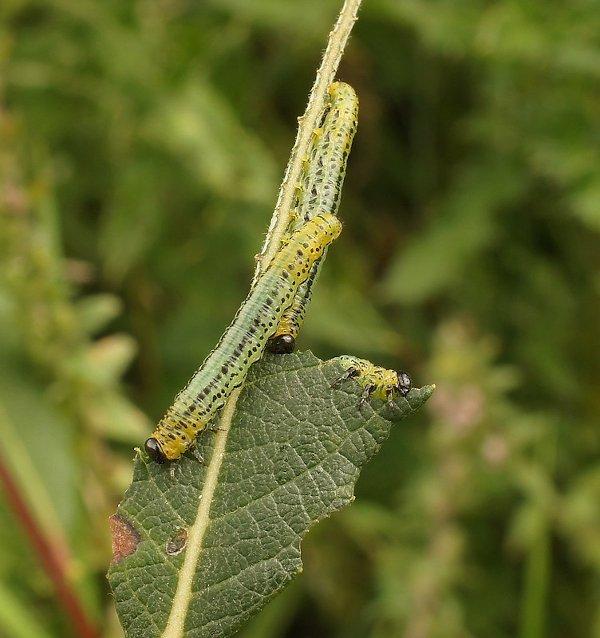 Euura miliaris larvae Credit John A Petyt