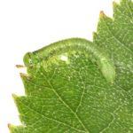 Euura poecilonota larva Credit John Grearson