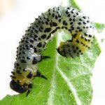 Euura ribesii larva Credit John Grearson