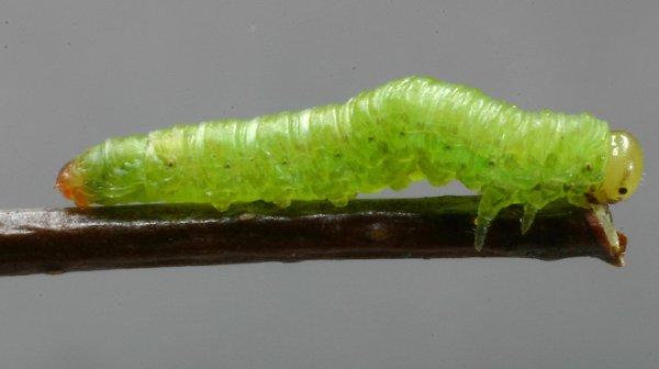 Euura viridis larva Credit John Grearson