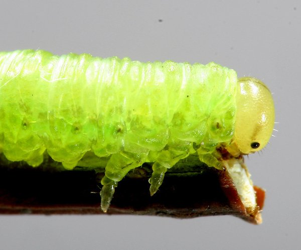Euura viridis larva head and thoracic detail Credit John Grearson