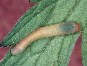 Macrophya albipuncta late instar Credit John Grearson
