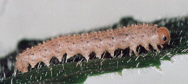 Macrophya montana mid instar larva Credit John Grearson