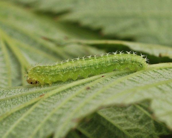 Monophadnoides rubi larva Credit John A Petyt