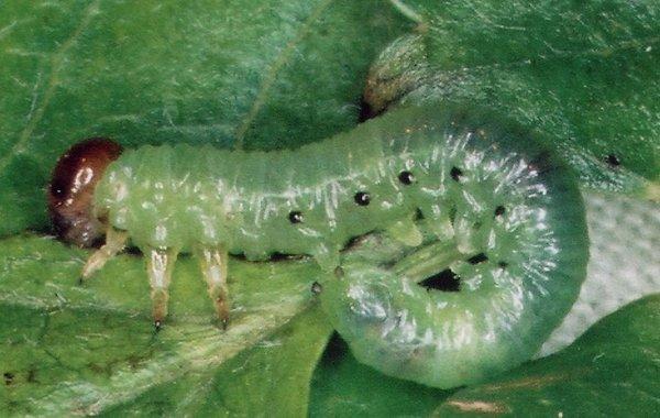 Nematus lucidus larva Credit John Grearson
