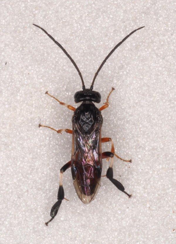 Nematus septentrionalis male Credit Andrew Green
