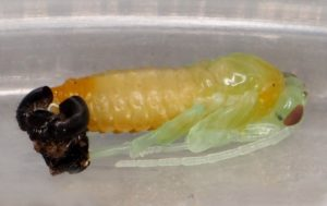 Nematus septentrionalis pupa_Wilden_20Apr2020