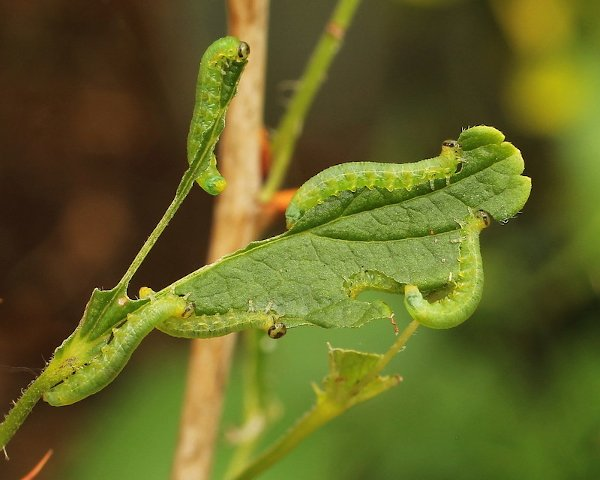 Pristiphora appendiculata larva Credit John A Petyt